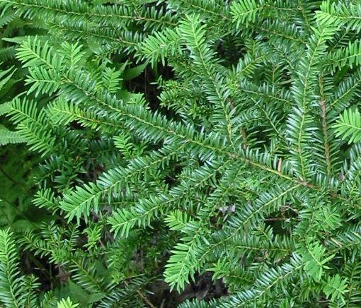 Yew Veggie Capsules (60 Capsules)