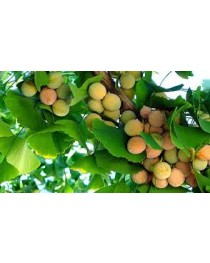 90% Chlorella 10% Ginkgo Biloba Tablets